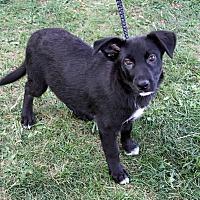 Adopt A Pet :: Kishi - Joliet, IL