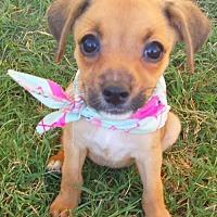 Adopt A Pet :: Honey - McKinney, TX