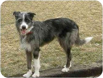Border Collie Mix Dog for adoption in Meridian, Idaho - Wolfie