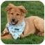 Photo 2 - Golden Retriever/Australian Shepherd Mix Puppy for adoption in Sacramento, California - Leo PENDING