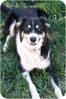 Border Collie/Australian Shepherd Mix Dog for adoption in San Pedro, California - J.J.
