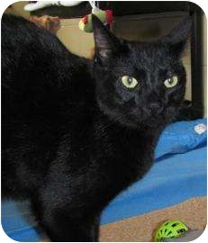 Domestic Shorthair Cat for adoption in Jackson, Michigan - Connor
