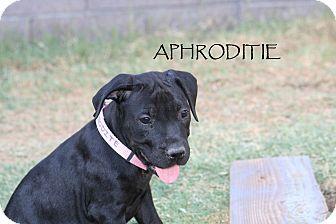 Labrador Retriever Mix Puppy for adoption in Phoenix, Arizona - Aphrodite