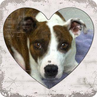 Boxer/Border Collie Mix Dog for adoption in Yerington, Nevada - Missy