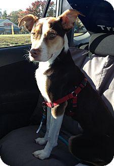Shepherd (Unknown Type) Mix Dog for adoption in Richmond, Virginia - Sawyer