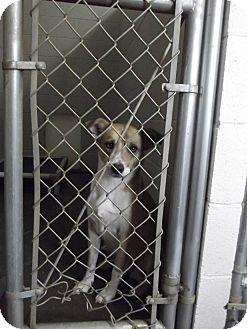 Labrador Retriever Mix Dog for adoption in Franklin, North Carolina - JAY