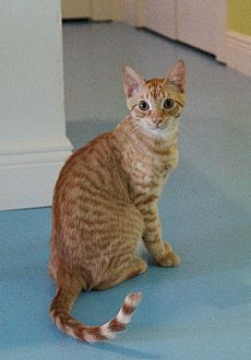 Domestic Shorthair Cat for adoption in Thibodaux, Louisiana - Nala