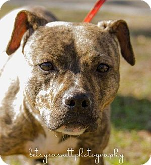 American Staffordshire Terrier Mix Dog for adoption in Tallahassee, Florida - SPice - in foster