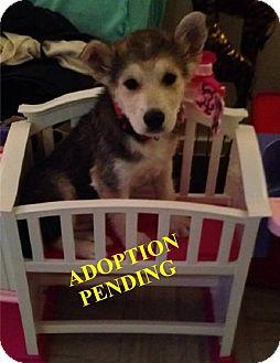 German Shepherd Dog/Husky Mix Puppy for adoption in Winnipeg, Manitoba - TONKA