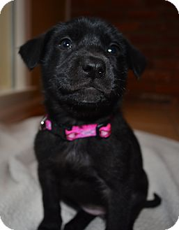 Labrador Retriever/Whippet Mix Puppy for adoption in Chicago, Illinois - Olive