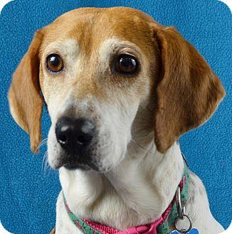 Beagle/Basset Hound Mix Dog for adoption in Minneapolis, Minnesota - Ally
