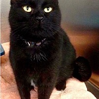 Adopt A Pet :: Blackie - Amarillo, TX