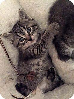 Domestic Shorthair Kitten for adoption in Troy, Michigan - Iggy