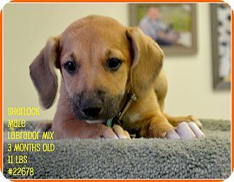 Labrador Retriever Mix Puppy for adoption in Beaumont, Texas - Sherlock