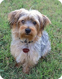 Yorkie, Yorkshire Terrier/Norwich Terrier Mix Puppy for adoption in Westport, Connecticut - *Fozzy - PENDING
