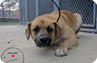 Black Mouth Cur/Mountain Cur Mix Dog for adoption in Sidney, Ohio - Bear