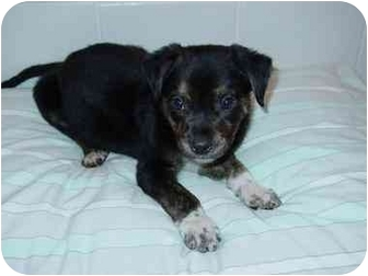 Springer Spaniel Mix Puppy for adoption in Manahawkin, New Jersey - Midnight