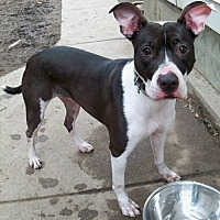 Pit Bull Terrier Mix Dog for adoption in Sterling Heights, Michigan - Roxy