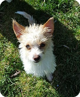 Terrier (Unknown Type, Small) Mix Dog for adoption in Bend, Oregon - Daphne