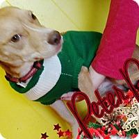 Adopt A Pet :: Peter Pan - Odessa, TX