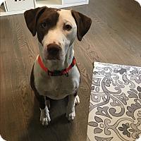 Adopt A Pet :: Indianna(cinnamon) - Fredericksburg, VA