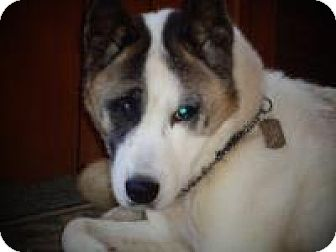 Akita Dog for adoption in Toms River, New Jersey - Chi Chi