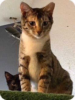 Domestic Shorthair Cat for adoption in Houston, Texas - Millie