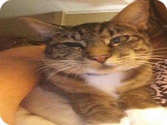 Domestic Shorthair Cat for adoption in Houston, Texas - RUDY