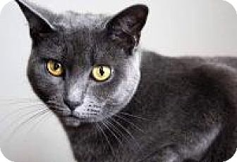 Russian Blue Cat for adoption in New Smyrna Beach, Florida - Ava