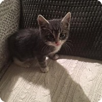 Domestic Shorthair Cat for adoption in New York, New York - Winnie