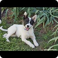 Adopt A Pet :: Bolt - Knoxville, TN