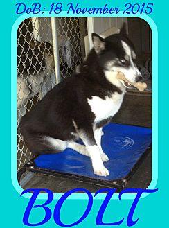 Siberian Husky Mix Dog for adoption in Halifax, Nova Scotia - BOLT