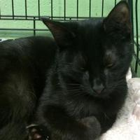 Domestic Shorthair/Domestic Shorthair Mix Cat for adoption in Savannah, Tennessee - Bart