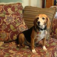 Adopt A Pet :: Molly - Auburn, AL