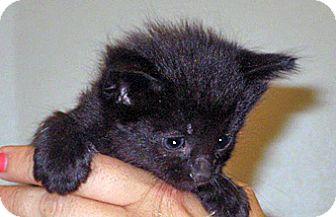Domestic Shorthair Kitten for adoption in Wildomar, California - 357249