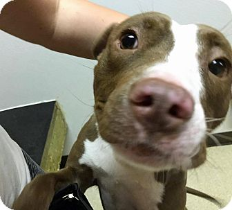 Terrier (Unknown Type, Medium)/Staffordshire Bull Terrier Mix Dog for adoption in Troy, Michigan - Lima