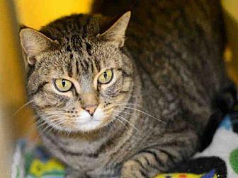 Domestic Mediumhair Cat for adoption in West Palm Beach, Florida - MUFFY