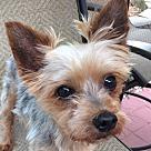 Adopt A Pet :: Bentley 5 lbs!