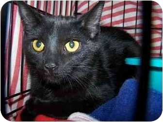 Domestic Shorthair Cat for adoption in Lake Linden, Michigan - Shadow