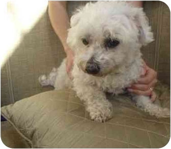 Poodle (Standard) Mix Dog for adoption in Coral Springs, Florida - Dakota