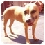 Photo 3 - American Staffordshire Terrier/Boxer Mix Dog for adoption in New York, New York - Princess