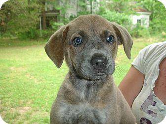 Labrador Retriever/Pointer Mix Puppy for adoption in Old Bridge, New Jersey - Cailin