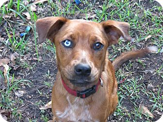 Catahoula Leopard Dog/Shepherd (Unknown Type) Mix Dog for adoption in Middleburg, Florida - Maggie