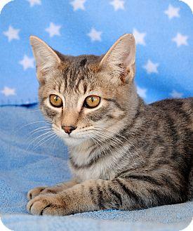 Domestic Shorthair Kitten for adoption in Palmdale, California - Hunter