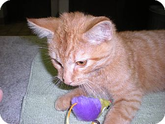 """Domestic Shorthair Cat for adoption in New Castle, Pennsylvania - """" Copper """""""