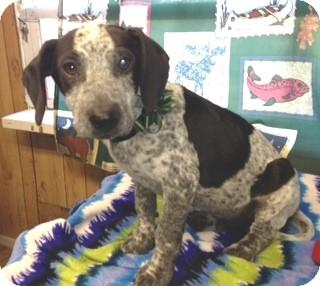 Spaniel (Unknown Type)/Labrador Retriever Mix Puppy for adoption in Greenville, Rhode Island - Mike-Urgent