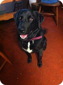 Newfoundland/Labrador Retriever Mix Dog for adoption in Worcester, Massachusetts - Valentina