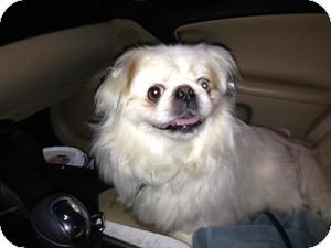 Pekingese Dog for adoption in Media, Pennsylvania - Icicle