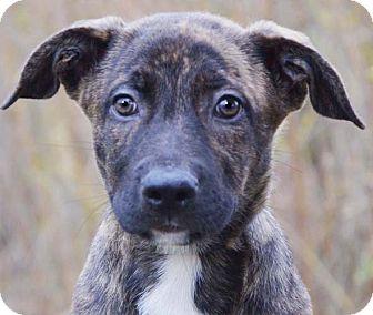 Boxer/German Shepherd Dog Mix Puppy for adoption in Hagerstown, Maryland - Turner