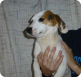Beagle/Basset Hound Mix Puppy for adoption in Oviedo, Florida - Johnny